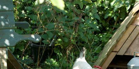 Grass, Vertebrate, Bird, Phasianidae, Galliformes, Beak, Chicken, Fowl, Poultry, Comb,