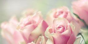 Petal, Flower, Pink, Garden roses, Flowering plant, Rose family, Botany, Hybrid tea rose, Rose order, Rose,