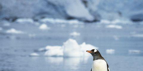 Body of water, Penguin, Nature, Daytime, Natural environment, Gentoo penguin, Freezing, Liquid, Vertebrate, Bird,
