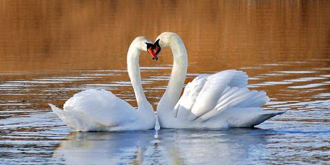 Bird, Swan, Water bird, Beak, Ducks, geese and swans, Water, Neck, Waterfowl, Tundra swan, Reflection,