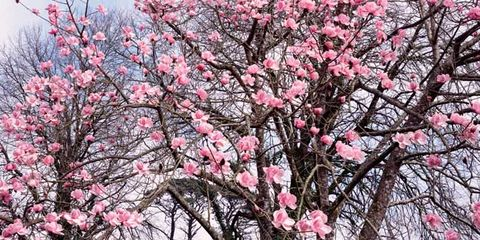 Branch, Petal, Flower, Blossom, Pink, Twig, Botany, Spring, Beauty, Colorfulness,