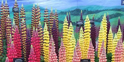 Flower, Flowering plant, Xanthorrhoeaceae, Annual plant, Lupin, Foxtail lily, Plantation, Broomrape, Delphinium, Lobelia,