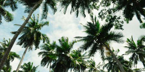 Vegetation, Daytime, Tree, Arecales, Woody plant, Terrestrial plant, Sunlight, Tropics, Symmetry, Palm tree,