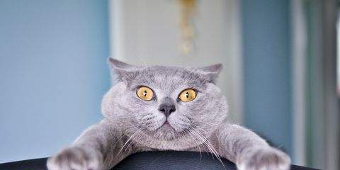 Felidae, Small to medium-sized cats, Cat, Whiskers, Carnivore, British shorthair, Snout, Grey, Chartreux, Domestic short-haired cat,