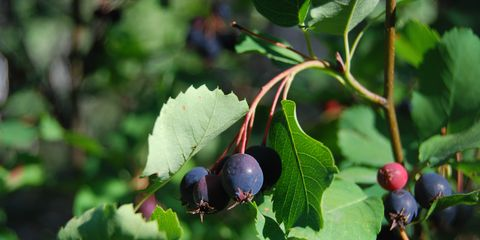 Blue, Leaf, Fruit, Woody plant, Berry, Produce, Flowering plant, Fruit tree, Bilberry, Huckleberry,