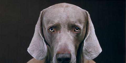 Dog breed, Dog, Carnivore, Weimaraner, Snout, Grey, Liver, Companion dog, Working animal, Blue lacy,