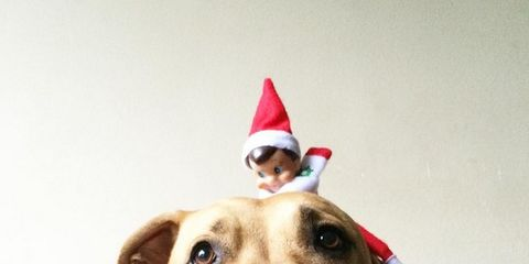 Dog, Mammal, Vertebrate, Canidae, Dog breed, Carnivore, American staffordshire terrier, Party hat, Snout, Christmas,