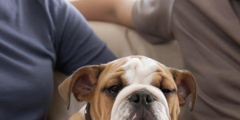 Finger, Dog, Carnivore, Bulldog, Dog breed, Watch, Wrist, Olde english bulldogge, Comfort, Fawn,