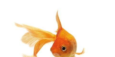 Organism, Vertebrate, Orange, Fin, Amber, Iris, Organ, Tail, Fish, Black,