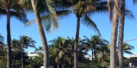 Tree, Arecales, Woody plant, Trunk, Shade, Palm tree, Tropics, Shadow, Attalea speciosa,
