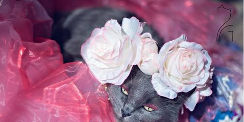 Petal, Flower, Pink, Flowering plant, Purple, Colorfulness, Felidae, Small to medium-sized cats, Cut flowers, Cat,