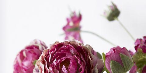 Petal, Flower, Purple, Magenta, Pink, Flowering plant, Violet, Botany, Rose family, Rose order,