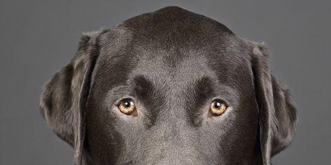 Vertebrate, Dog breed, Dog, Mammal, Canidae, Labrador retriever, Snout, Nose, Retriever, Sporting Group,