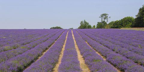 Blue, Agriculture, Lavender, Purple, Farm, Field, Violet, Lavender, Plantation, Rural area,