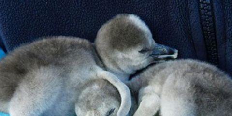 Blue, Bird, Beak, Comfort, Ducks, geese and swans, Water bird, Waterfowl, Duck, Linens, Fur,
