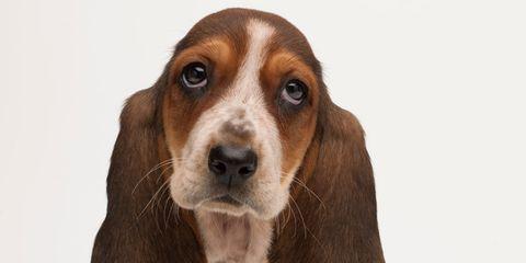 Brown, Dog, Carnivore, Vertebrate, Dog breed, Snout, Fawn, Scent hound, Liver, Tan,