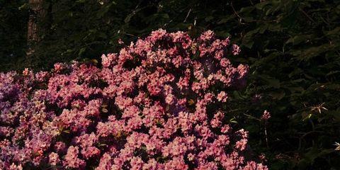 Vegetation, Organism, Flower, Pink, Petal, Shrub, Flowering plant, Spring, Wildflower, Blossom,