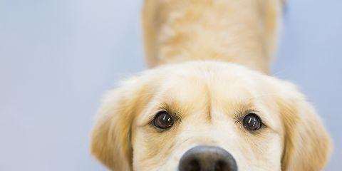 Dog breed, Yellow, Skin, Dog, Carnivore, Vertebrate, Mammal, Tongue, Whiskers, Iris,