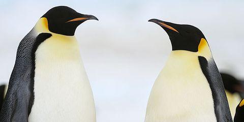 Penguin, Organism, Daytime, Natural environment, Yellow, Beak, Vertebrate, Bird, Standing, Photograph,
