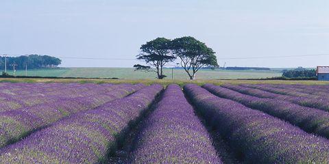 Agriculture, Purple, Lavender, Field, Violet, Farm, Plain, Plantation, Rural area, Groundcover,