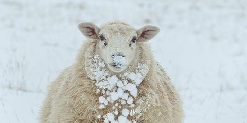 Winter, Freezing, Adaptation, Snow, Atmospheric phenomenon, Terrestrial animal, Snout, Sheep, Sheep, Beige,