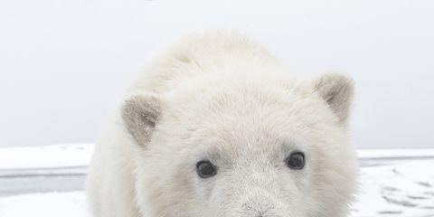 Daytime, Organism, Polar bear, Bear, Vertebrate, Carnivore, Photograph, White, Terrestrial animal, Facial expression,