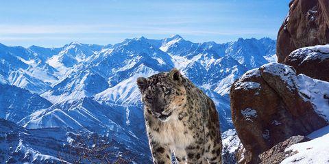 Winter, Mountainous landforms, Mountain range, Snow leopard, Landscape, Snow, Natural landscape, Lynx, Freezing, Carnivore,