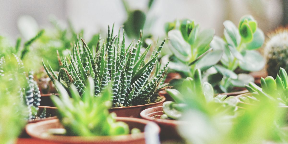 The Health Benefits Of Having Succulents In Your Home