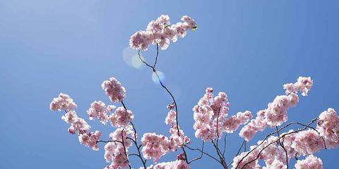 Flower, Blossom, Plant, Spring, Tree, Branch, Flowering plant, Cherry blossom, Woody plant, Sky,