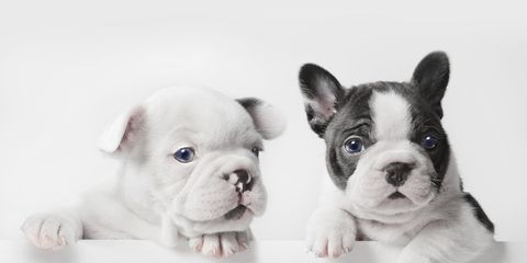 Skin, Dog, Vertebrate, Carnivore, Snout, Dog breed, Working animal, Puppy, Fawn, Toy dog,
