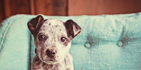 Dog breed, Dog, Carnivore, Snout, Teal, Companion dog, Turquoise, Working animal, Puppy, Whiskers,