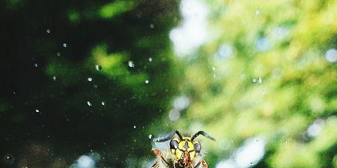 Invertebrate, Insect, Arthropod, Organism, Pest, Pollinator, Bee, Membrane-winged insect, Honeybee, Parasite,