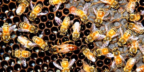 Bee, Beehive, Honeycomb, Insect, Honeybee, Pattern, Membrane-winged insect, Pollinator, Design, Invertebrate,