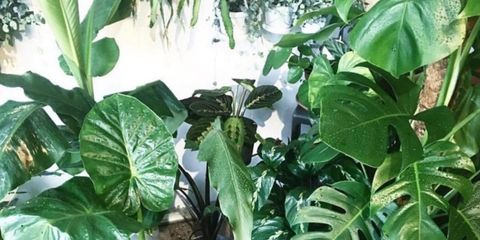 Flower, Plant, Houseplant, Leaf, Botany, Anthurium, Monstera deliciosa, Alismatales, Flowerpot, Herb,