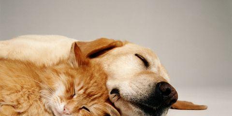 Dog, Mammal, Canidae, Dog breed, Carnivore, Snout, Labrador retriever, Nose, Retriever, Golden retriever,