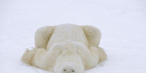 Polar bear, Bear, Stuffed toy, Carnivore, Fur,