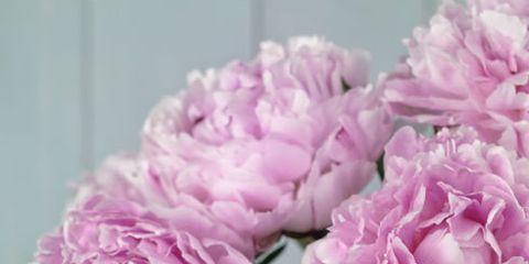 Flower, Flowering plant, Pink, Petal, common peony, Rosa × centifolia, Plant, Cut flowers, Peony, Chinese peony,