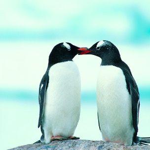Bird, Vertebrate, Penguin, Flightless bird, Beak, adélie penguin, Organism, Adaptation, Neck, Love,