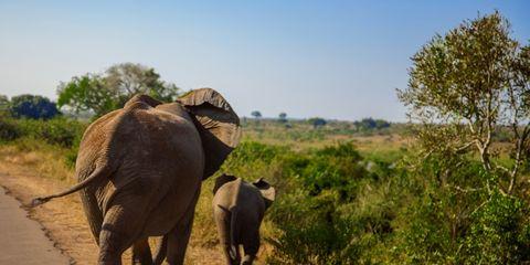Elephant, Elephants and Mammoths, Wildlife, Terrestrial animal, Mammal, Indian elephant, African elephant, Safari, Nature reserve, Wilderness,