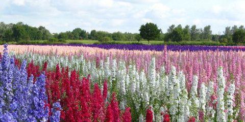 Flower, Flowering plant, Plant, Purple loosestrife, Lupin, Lavender, Delphinium, Hyssopus, Common sage, Annual plant,