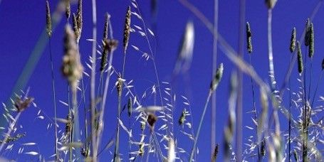 Grass, Plant, Grass family, Lavender, Field, Sky, Flowering plant, Flower, Meadow, Wildflower,