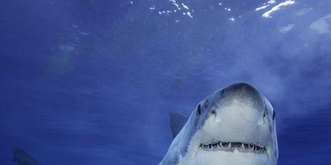 Great white shark, Shark, Fish, Lamniformes, Tiger shark, Lamnidae, Cartilaginous fish, Marine biology, Underwater, Bull shark,