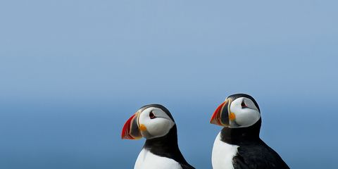 Bird, Puffin, Atlantic puffin, Vertebrate, Beak, Seabird, Charadriiformes, Organism, Auk, Rock,