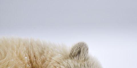 Mammal, Polar bear, Bear, Snout, Fur, Snow, Carnivore, Wildlife, Adaptation, Winter,