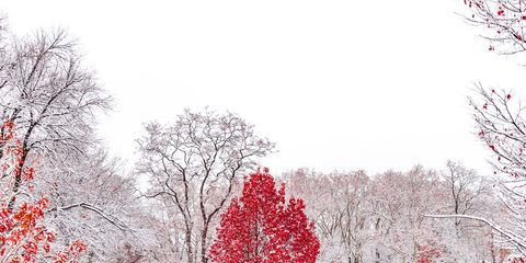 Snow, Tree, Winter, Red, Freezing, Branch, Woody plant, Blizzard, Winter storm, Plant,