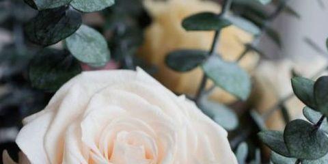 Flower, Julia child rose, Garden roses, Rose, White, Floribunda, Petal, Rose family, Plant, Pink,