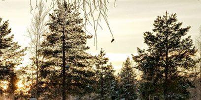 Nature, Winter, Branch, Freezing, Snow, Sunlight, Conifer, Grove, Evergreen, Precipitation,