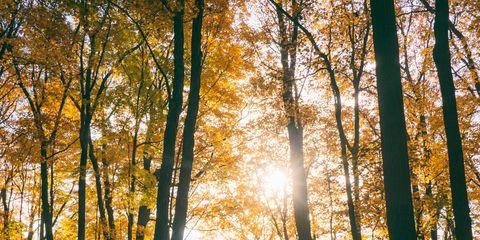 Tree, Forest, People in nature, Woodland, Nature, Natural landscape, Leaf, Natural environment, Northern hardwood forest, Sunlight,
