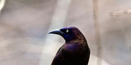 Branch, Organism, Bird, Vertebrate, Beak, Twig, Purple, Feather, Organ, Beauty,