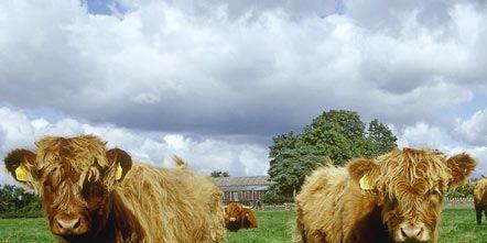 Grass, Brown, Organism, Natural landscape, Pasture, Green, Bovine, Vertebrate, Grassland, Terrestrial animal,